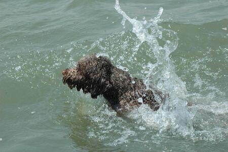 Spanish water dog swimming in the lake