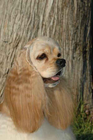Portrait of head american cocker spaniel brown color