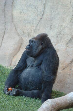 Exemplary western plain gorilla sitting 版權商用圖片