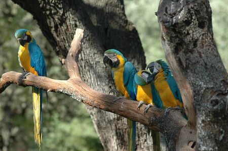Group of yellow and blue macaws on tree branch