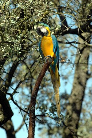 One yellow and blue macaws on tree branch