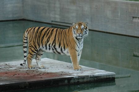 Tiger on platform by the water