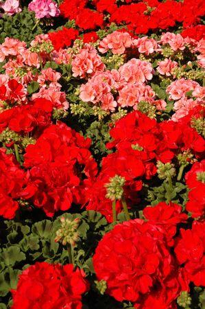 Red and pink geranium flowers set 版權商用圖片