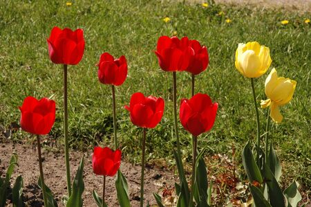 Red and yellow tulips flowers in garden
