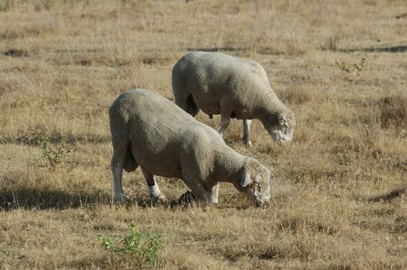 Sheep grazing in the field
