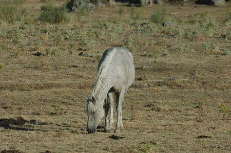 White horse grazing freely in the field 版權商用圖片