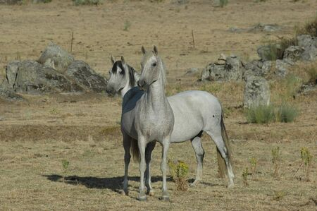 White horse couple in freedom watching attentive in the field 版權商用圖片