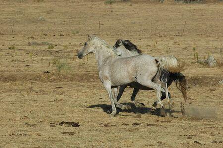 Couple of white horses running freely across the field 版權商用圖片
