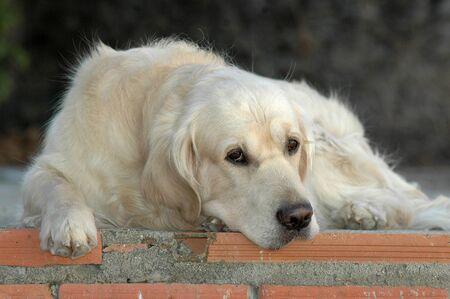 Golden Retriever purebred dog lying down 版權商用圖片