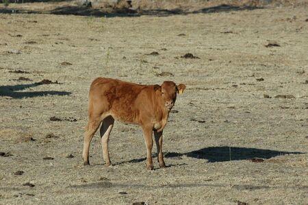 Juniors Calves in pasture fields in freedom