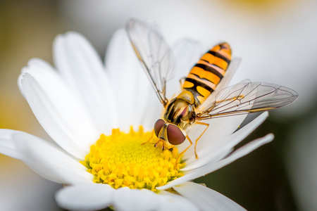 a hoverfly eating from a daisy flower Stock Photo