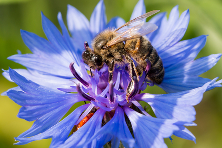 feelers: a bee collecting nectar on a blue flower Stock Photo