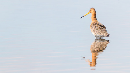 black-tailed godwit standing in the water with reflection