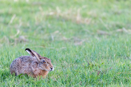 hare hiding in the grass