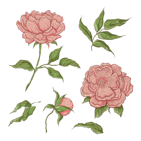 Vector color illustration of graphically hand-drawn flowers. Imitation engraving. Blooming peony with an open and a closed bud, leaves and twigs Illustration