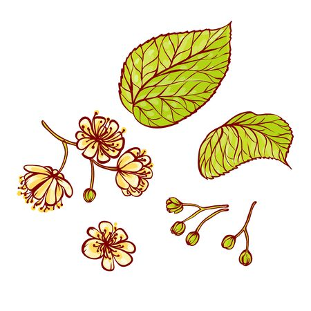 Linden flowers and leaves set of vector sketch illustrations