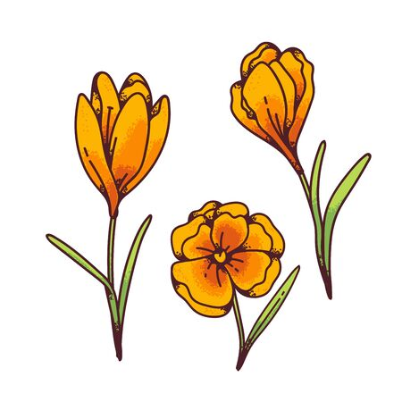 Crocus yellow flowers spring primroses set for design greeting card. Outline sketch illustration isolated on white background