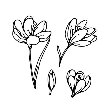 Crocus bud et bloom fleur printemps primevères ensemble contour noir blanc croquis illustration Vecteurs