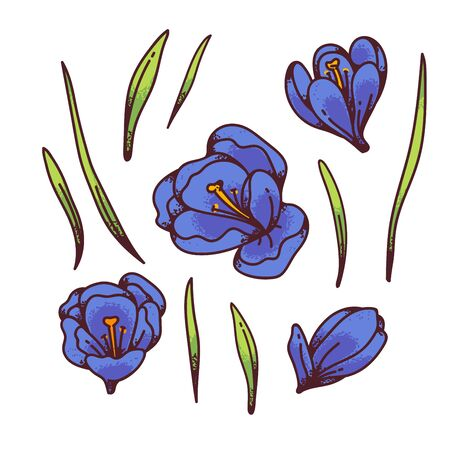 Crocus blue saffron flower bud and leaves spring primroses set constructor for design card and greeting. Outline sketch illustration isolated on white background 일러스트