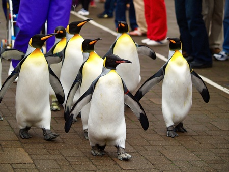 parades: King penguin in zoo Stock Photo