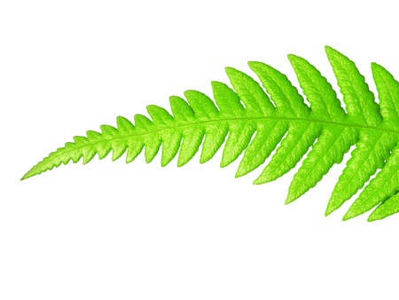 Isolated green leaf on white photo