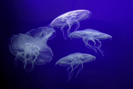 Group of light Jellyfish in underwater photo