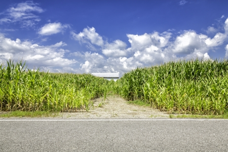 Corn field behind the asphalt road photo