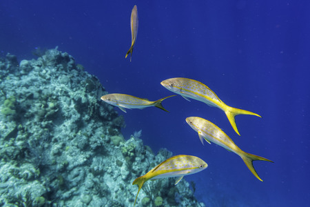 Yellowtail Snappers fish on the coral reef edge. Selective focus Reklamní fotografie