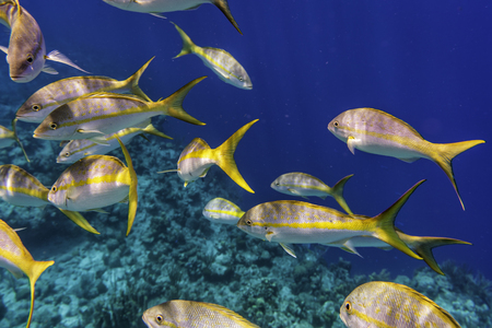 Yellowtail Snappers fish in blue Caribbean waters. Selective focus