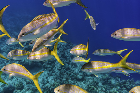 Colorful Yellowtail Snappers fish school underwater. Selective focus
