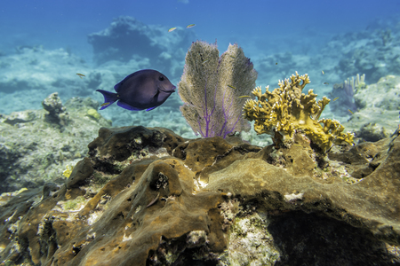 Atlantic Blue Tang fish on the top of the reef. Underwater life. Selective focus Reklamní fotografie