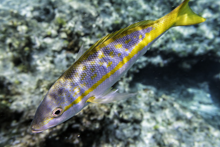 Yellowtail Snappers fish underwater coral reef background. Selective focus