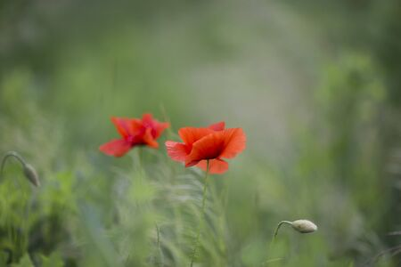Wunderful summer field with poppies