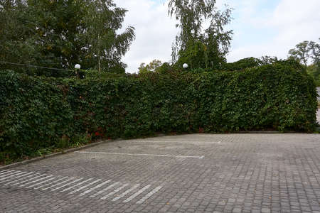 The parking lot is fenced with hedges, wild ivy, wild grapes.