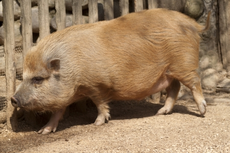 Korean Pig Stock Photo