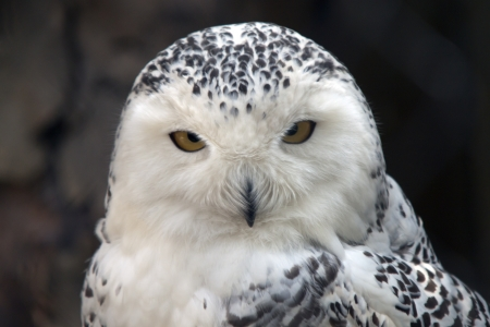 particolare: Particolare Snowy Owl Archivio Fotografico