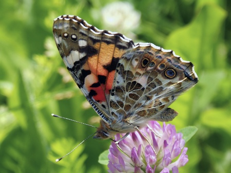 Butterfly Vanessa Cardui Stock Photo