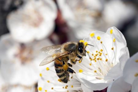 Bee, Apis Mellifica photo
