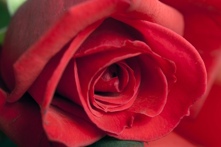 Red rose  photo taken in a garden in Reggio Emilia Italy