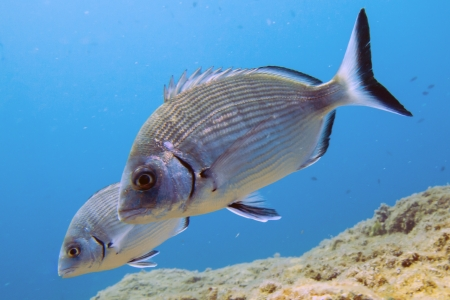 seabream swimming in the Mediterranean Sea photo
