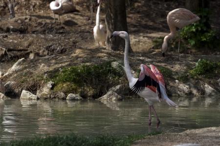 pink flamingo in a lake