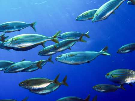 school of fish salema in the water of Liguria Italy Stock Photo