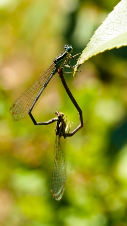 pair of dragonflies in  a meadow photo