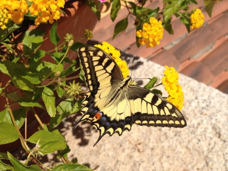 Butterfly Machaon on a flower