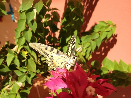 Butterfly Machaon on flower