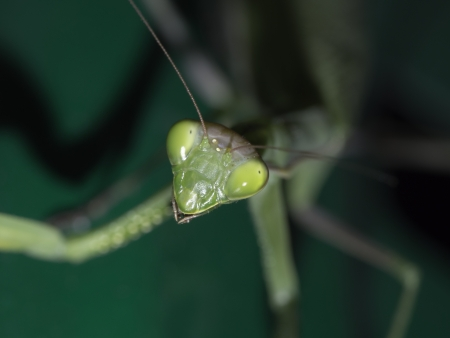 Particular of  a green mantis in a meadow