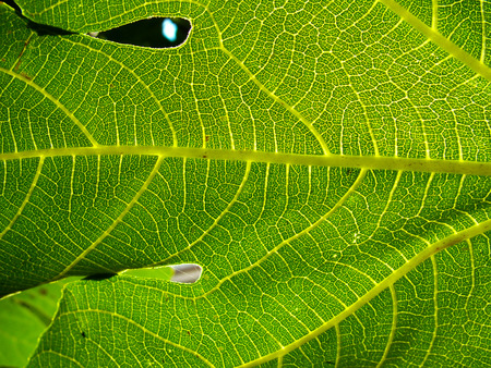 fig leaf: particular of a fig leaf Stock Photo