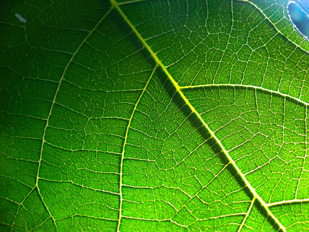 particular: particular of a fig leaf Stock Photo