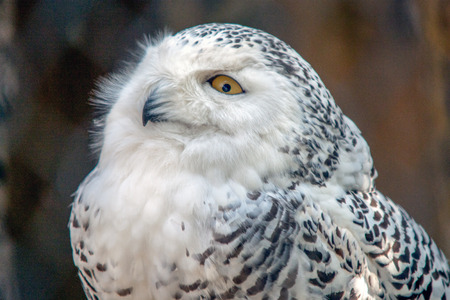 in particular: Snowy Owl Particular