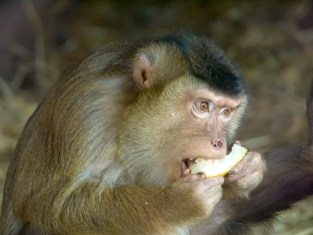 terrify: Macaque  nemestrino eating Stock Photo